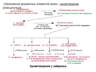 Образование форменных элементов крови – кроветворение (гемоцитопоэз). Кровет