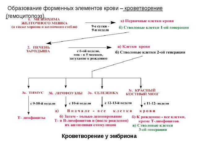 Образование форменных элементов крови – кроветворение (гемоцитопоэз). Кровет...