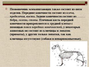 Позвоночник млекопитающих также состоит из пяти отделов. Передние конечности