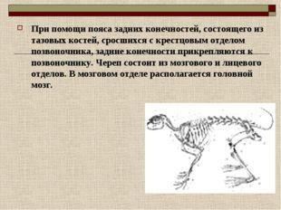 При помощи пояса задних конечностей, состоящего из тазовых костей, сросшихся