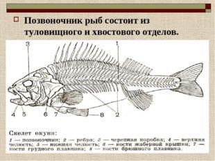 Позвоночник рыб состоит из туловищного и хвостового отделов.