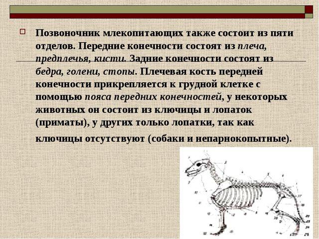 Позвоночник млекопитающих также состоит из пяти отделов. Передние конечности...