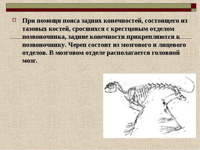При помощи пояса задних конечностей, состоящего из тазовых костей, сросшихся...