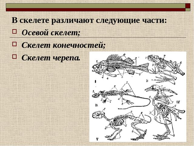 В скелете различают следующие части: Осевой скелет; Скелет конечностей; Скеле...