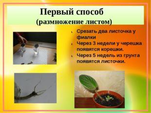 Первый способ (размножение листом) Срезать два листочка у фиалки Через 3 неде