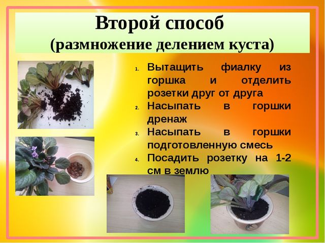 Второй способ (размножение делением куста) Вытащить фиалку из горшка и отдели...
