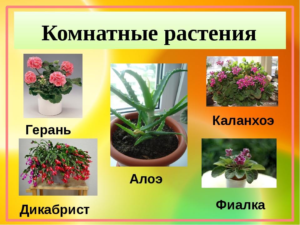 Комнатные растения Герань Дикабрист Алоэ Каланхоэ Фиалка