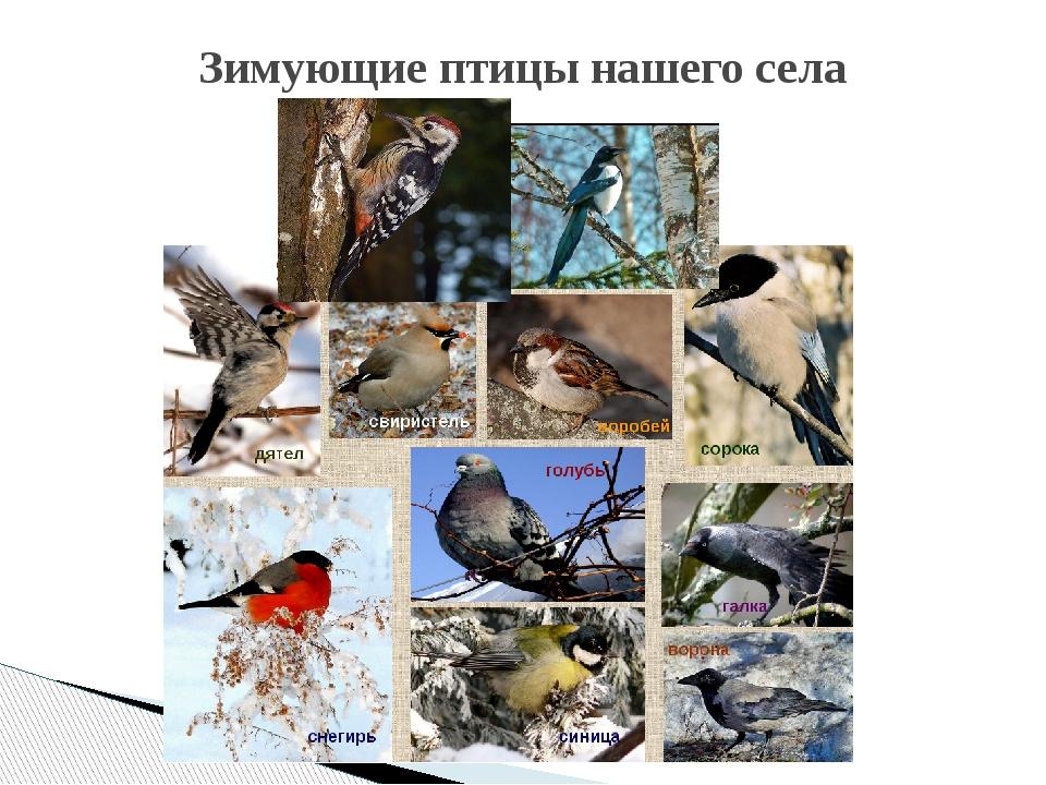 Зимующие птицы нашего села