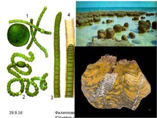 1 – носток; 2 – анабена; 3 – осциллятория; 4 – лингбия есть одноклеточные, ко