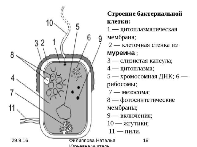 Строение бактериальной клетки: 1— цитоплазматическая мембрана; 2— клеточна...
