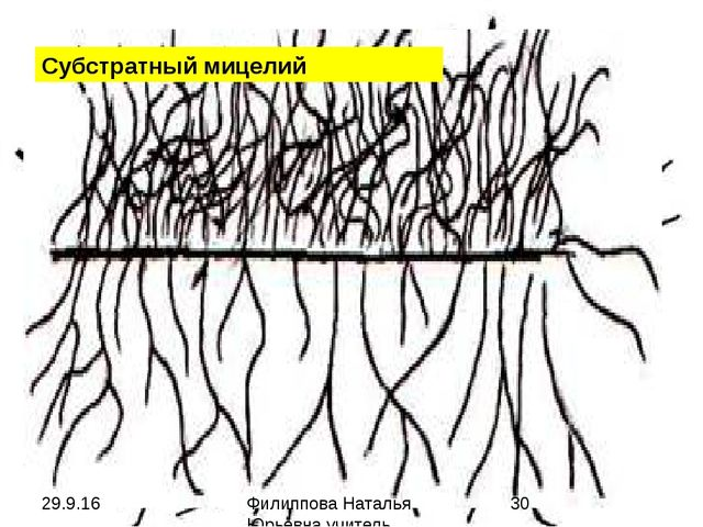 ЦарствоBacteria ОтделFirmicutes КлассThallobacteria ПорядокActinomycetale...