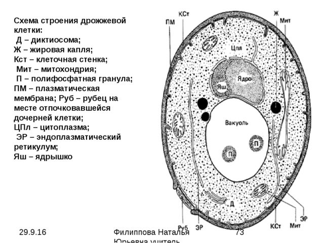 Схема строения дрожжевой клетки: Д – диктиосома; Ж – жировая капля; Кст – кле...