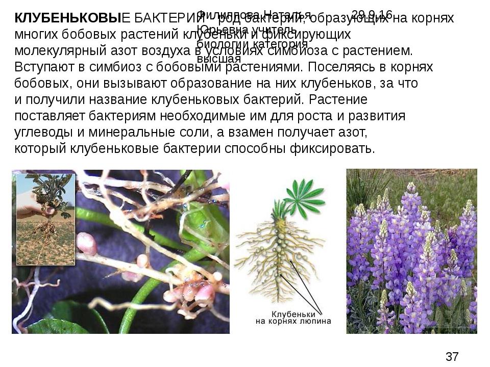 КЛУБЕНЬКОВЫЕ БАКТЕРИИ - род бактерий, образующих на корнях многих бобовых рас...