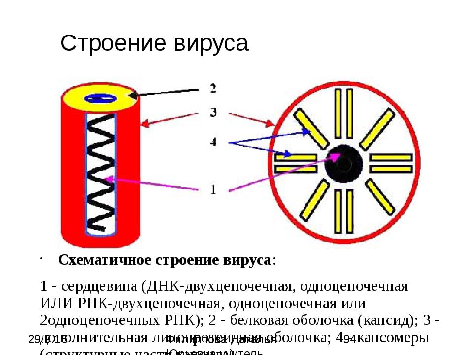 Схематичное строение вируса: 1 - сердцевина (ДНК-двухцепочечная, одноцепочечн...