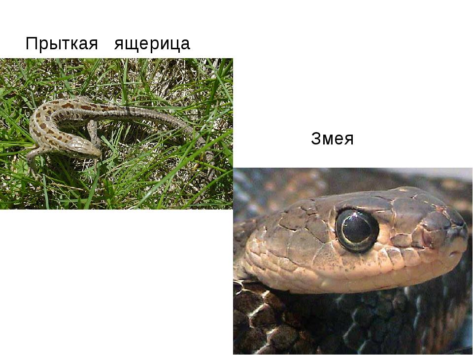 Прыткая ящерица Змея