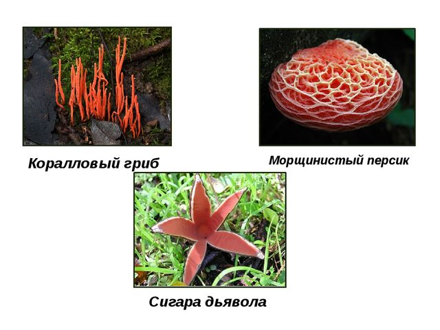 Морщинистый персик Коралловый гриб Сигара дьявола