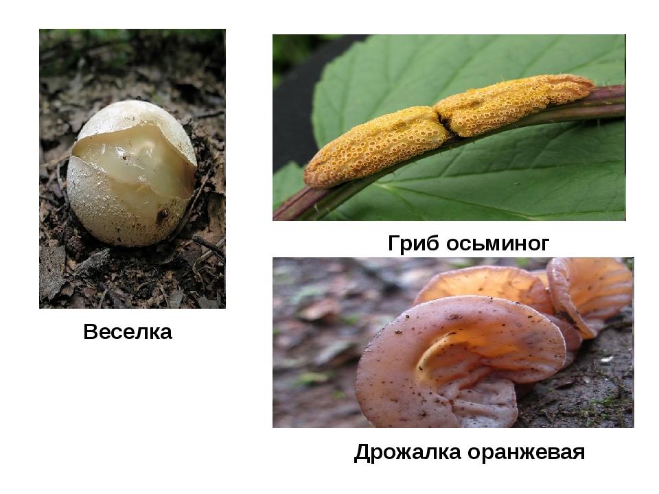 Гриб осьминог Веселка Дрожалка оранжевая