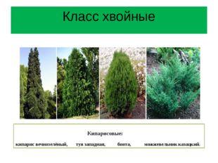 Кипарисовые: кипарис вечнозелёный, туя западная, биота, можжевельник казацки