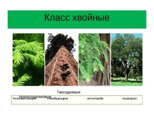 Класс хвойные болотный кипарис секвойядендрон метасеквойя подокарпус Таксодие