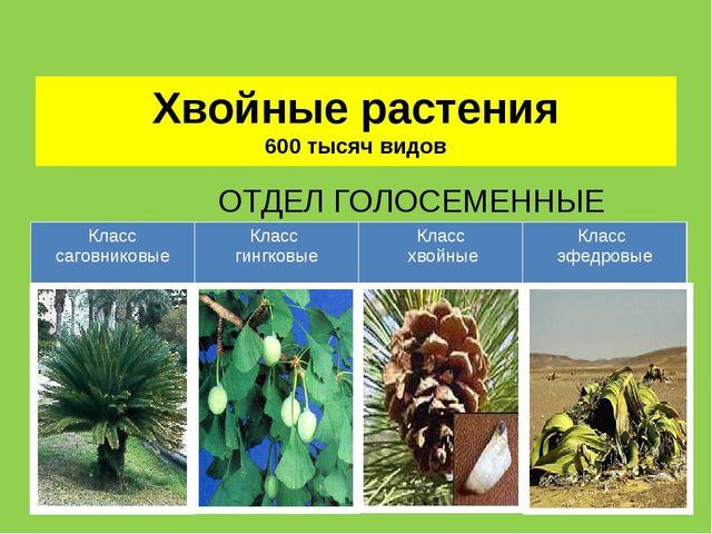 Хвойные растения 600 тысяч видов ОТДЕЛ ГОЛОСЕМЕННЫЕ Класс саговниковые Класс...
