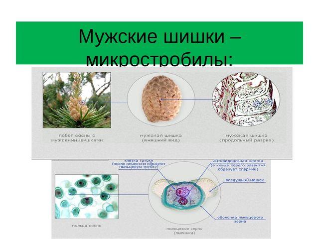Мужские шишки – микростробилы: