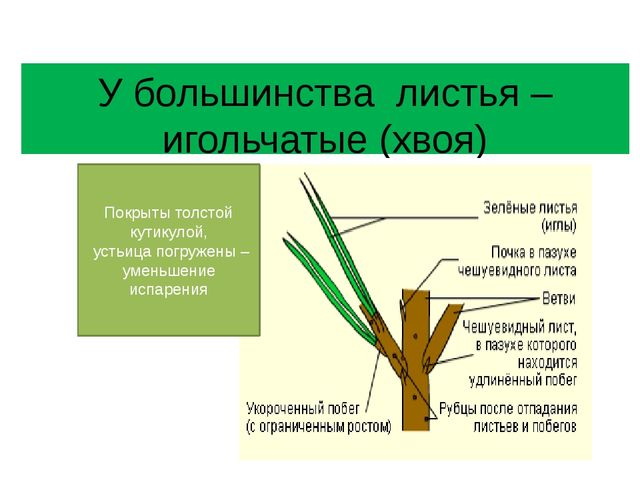 У большинства листья – игольчатые (хвоя) Покрыты толстой кутикулой, устьица п...