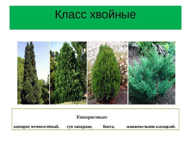 Кипарисовые: кипарис вечнозелёный, туя западная, биота, можжевельник казацки...