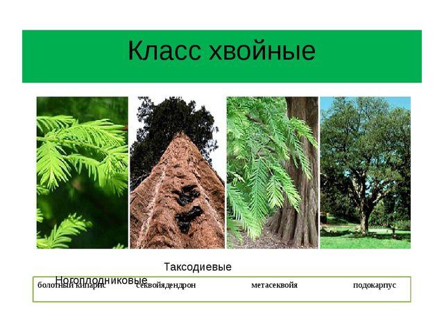 Класс хвойные болотный кипарис секвойядендрон метасеквойя подокарпус Таксодие...