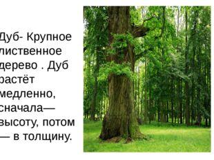 Дуб-Крупное лиственное дерево . Дуб растёт медленно, сначала—высоту, потом—
