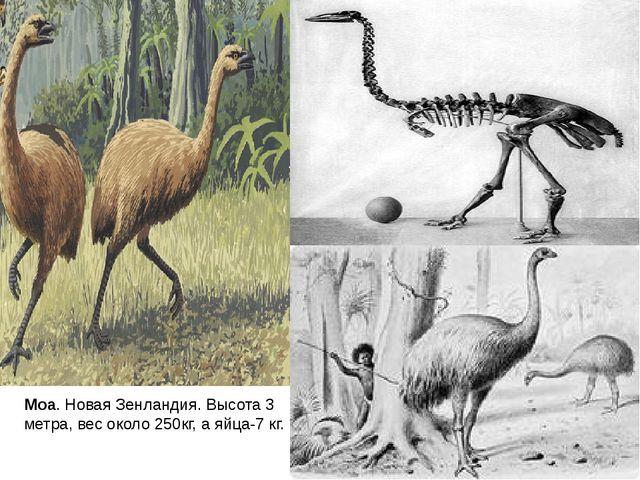 Моа. Новая Зенландия. Высота 3 метра, вес около 250кг, а яйца-7 кг.