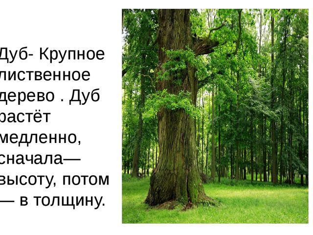 Дуб-Крупное лиственное дерево . Дуб растёт медленно, сначала—высоту, потом—...
