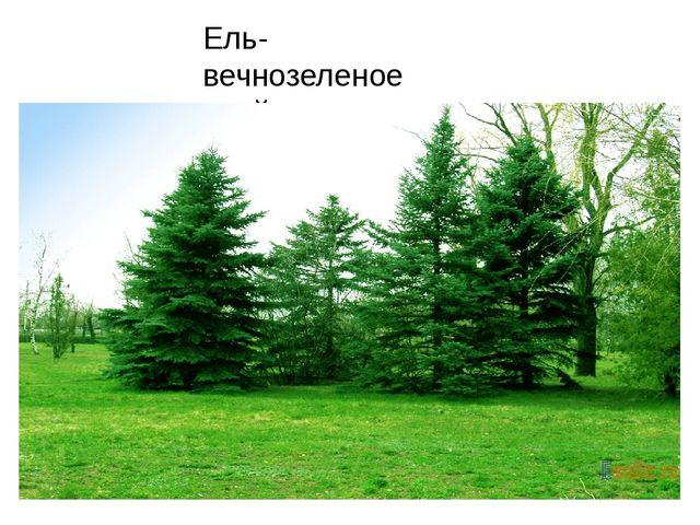 Ель- вечнозеленое хвойное дерево.
