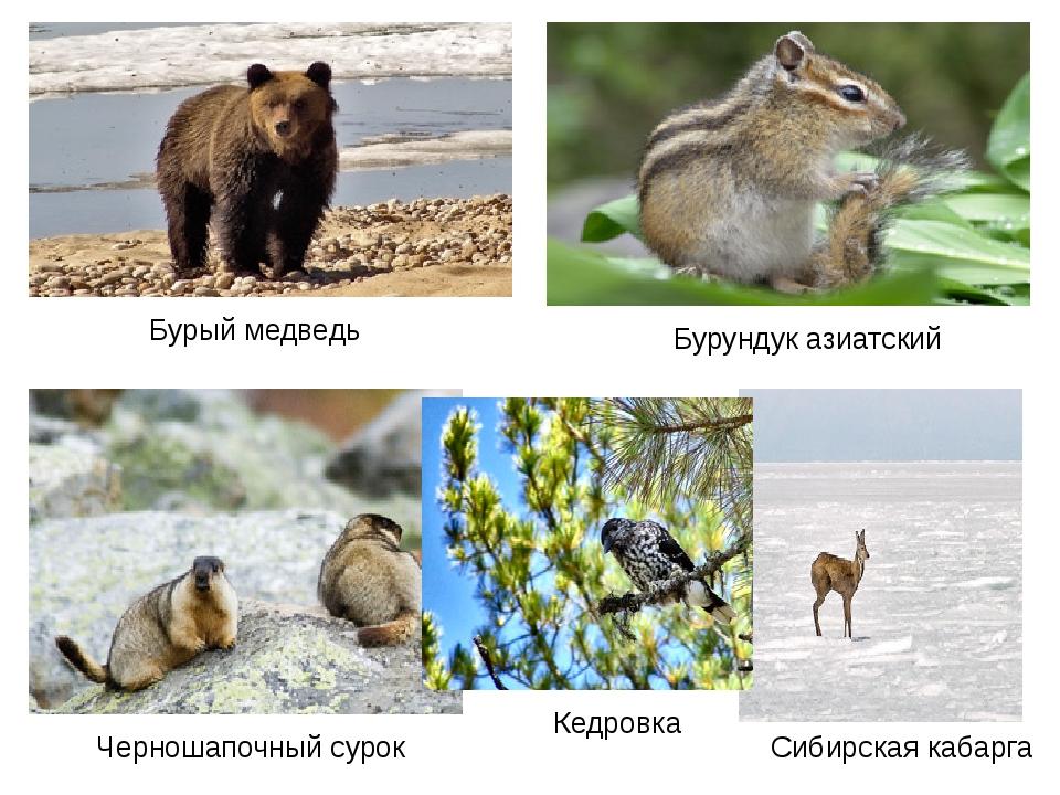 Бурый медведь Сибирская кабарга Бурундук азиатский Черношапочный сурок Кедро...