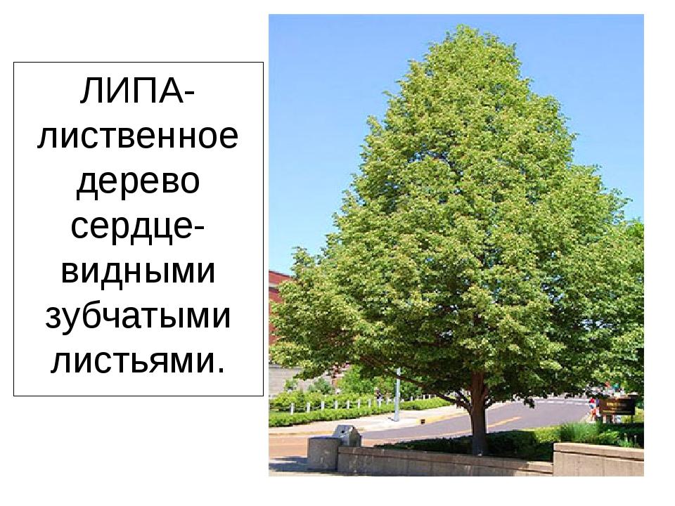 ЛИПА-лиственное дерево сердце- видными зубчатыми листьями.