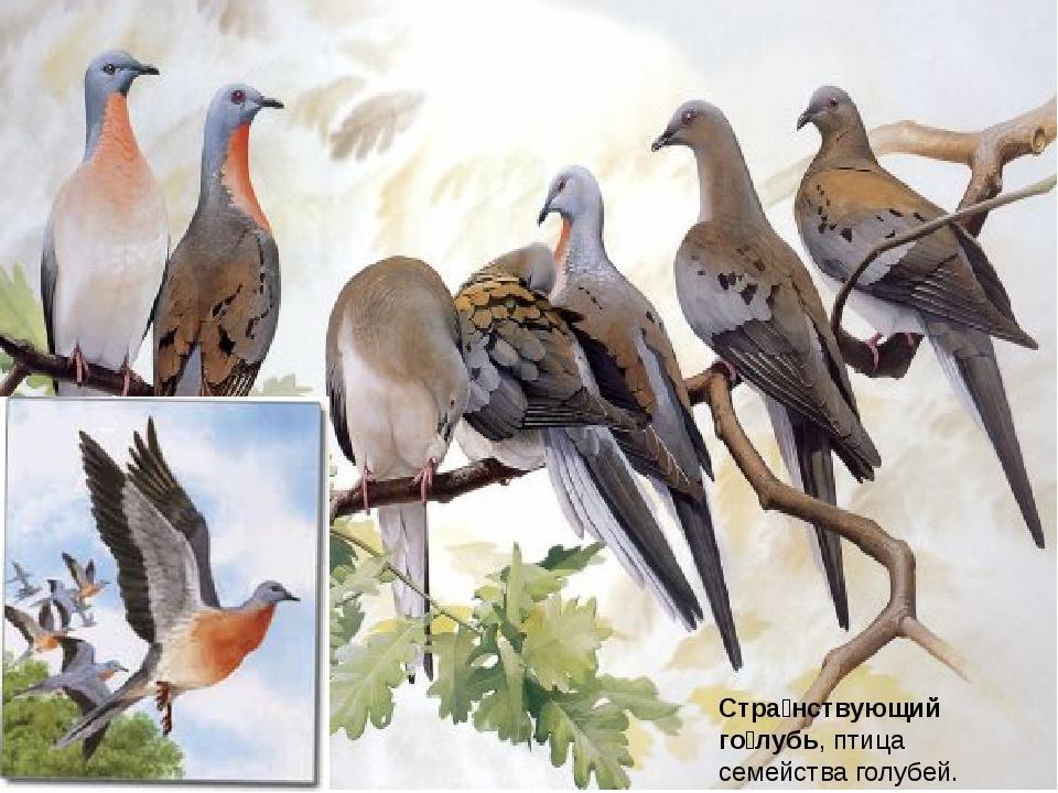 Стра́нствующий го́лубь, птица семействаголубей.