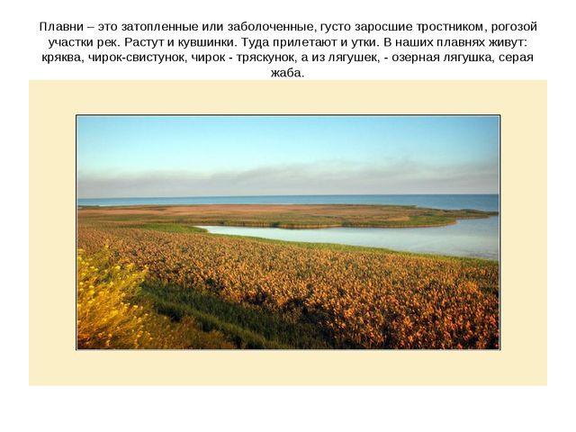 Плавни – это затопленные или заболоченные, густо заросшие тростником, рогозой...