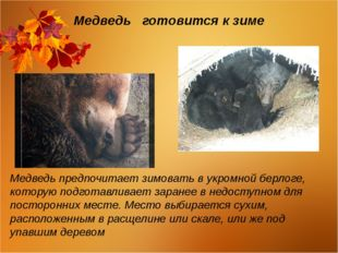 Медведь готовится к зиме Медведь предпочитает зимовать в укромной берлоге, ко