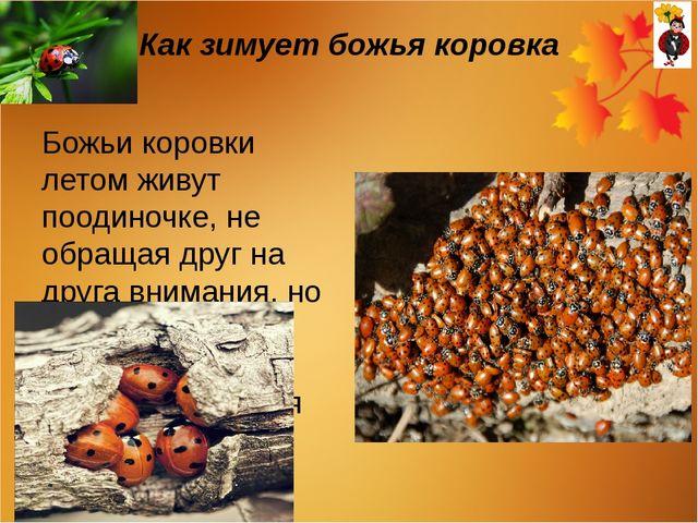 Как зимует божья коровка Божьи коровки летом живут поодиночке, не обращая дру...