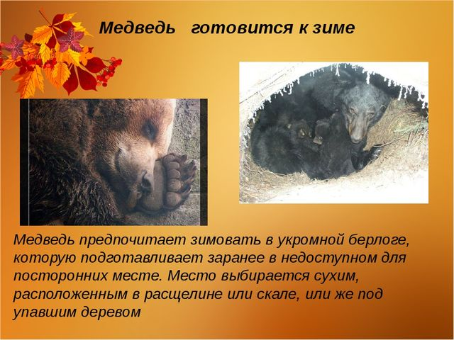 Медведь готовится к зиме Медведь предпочитает зимовать в укромной берлоге, ко...