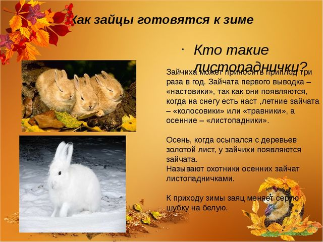 Как зайцы готовятся к зиме Кто такие листопаднички? Зайчиха может приносить п...