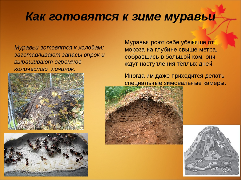 Как готовятся к зиме муравьи Муравьи готовятся к холодам: заготавливают запас...