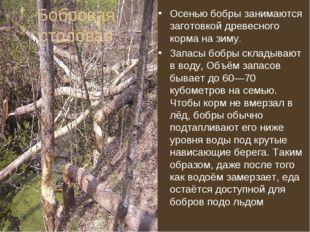 Бобровая столовая Осенью бобры занимаются заготовкой древесного корма на зиму