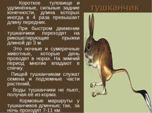тушканчик Короткое туловище и удлинённые, сильные задние конечности, длина ко