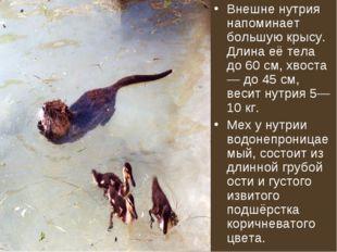Внешне нутрия напоминает большую крысу. Длина её тела до 60 см, хвоста — до 4