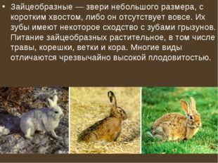 Зайцеобразные— звери небольшого размера, с коротким хвостом, либо он отсутст