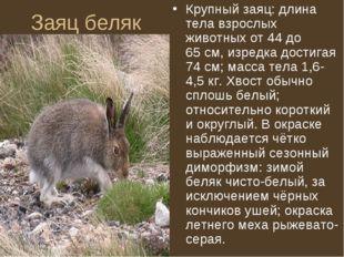 Заяц беляк Крупный заяц: длина тела взрослых животных от 44 до 65см, изредка