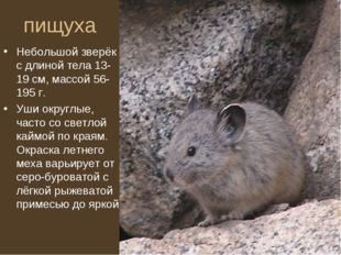 пищуха Небольшой зверёк с длиной тела 13-19 см, массой 56-195 г. Уши округлые