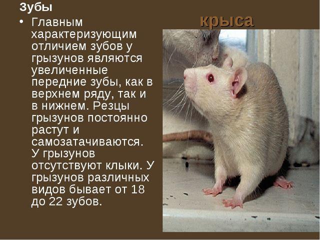 крыса Зубы Главным характеризующим отличием зубов у грызунов являются увеличе...