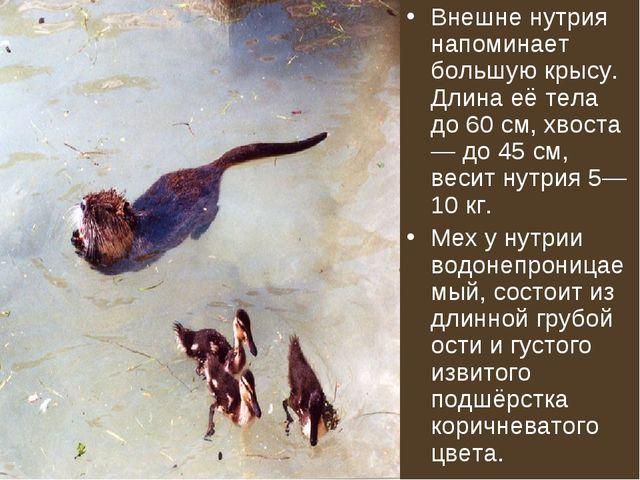 Внешне нутрия напоминает большую крысу. Длина её тела до 60 см, хвоста — до 4...