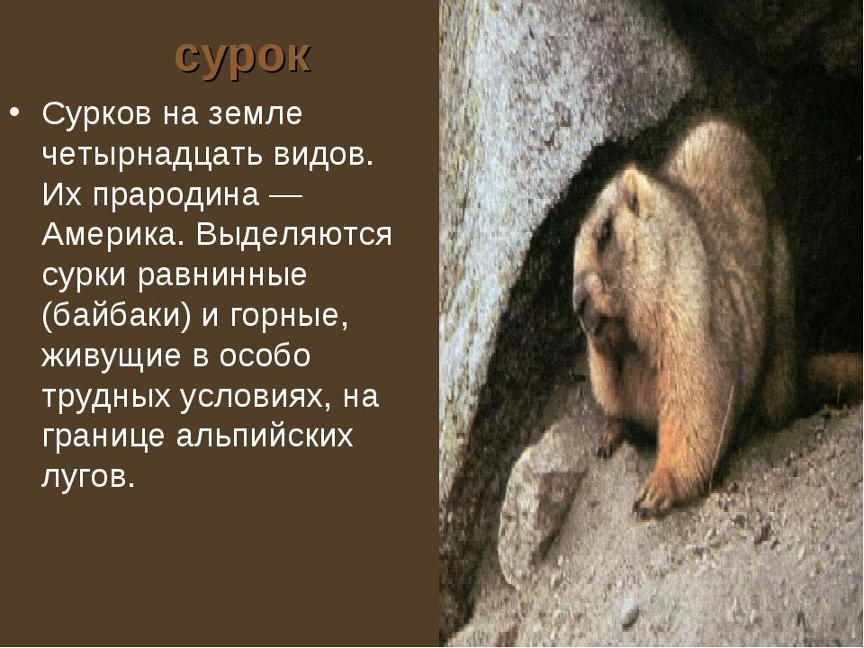 сурок Сурков на земле четырнадцать видов. Их прародина — Америка. Выделяются...